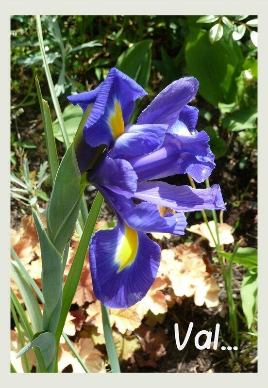 iris reticulata b
