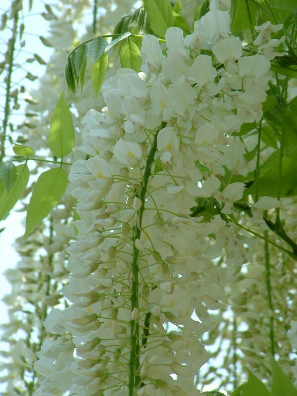06 Glycines blanches