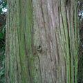 Cyprès de Lawson • Chamacyparis lauwsoniana • Cupressaceae