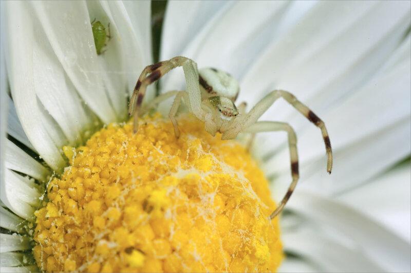 SM araign thomise blanche paquerette puceron 250321