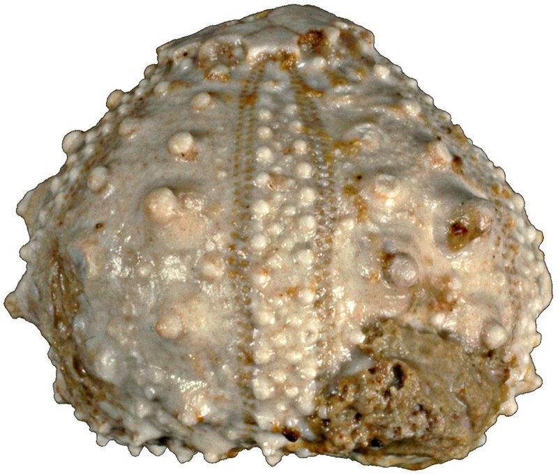 Tetragoniopygus stocktonensis N14514-a