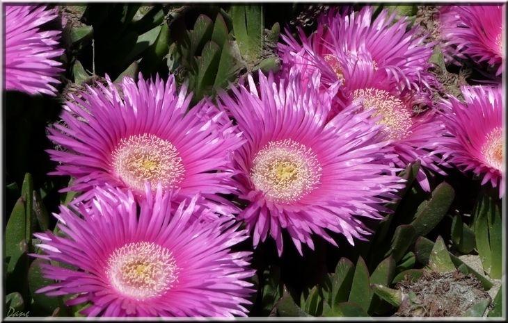 1_fleurs_roses_midi
