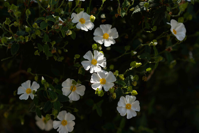 fleurs blanches promenade - 1