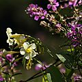 Odontadenia sp. et Tibouchina aspera