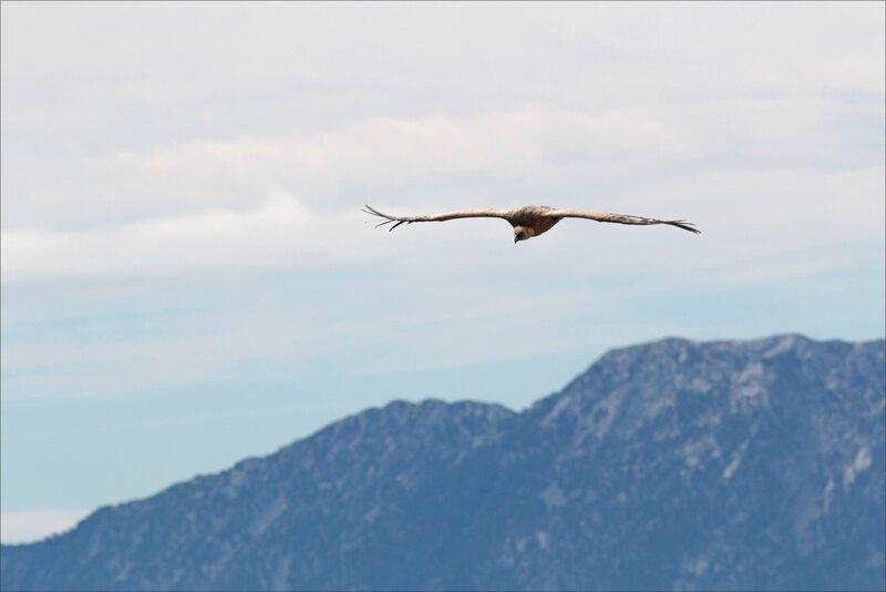 Castillo 130616 90 vautour montagne