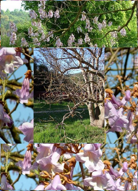 paulownia__R_solution_de_l__cran_