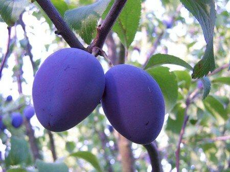 1_fruits_des_questch_0008