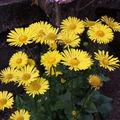 2009 05 13 Marguerite Doronicum Oriental