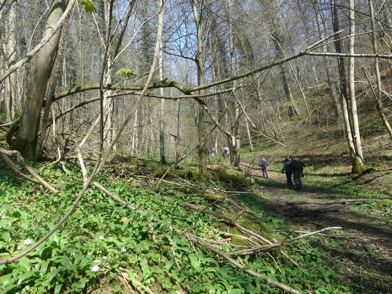 l'ail des ours en sous bois