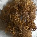 Un champignon buisson qui évoque le corail et le lichen