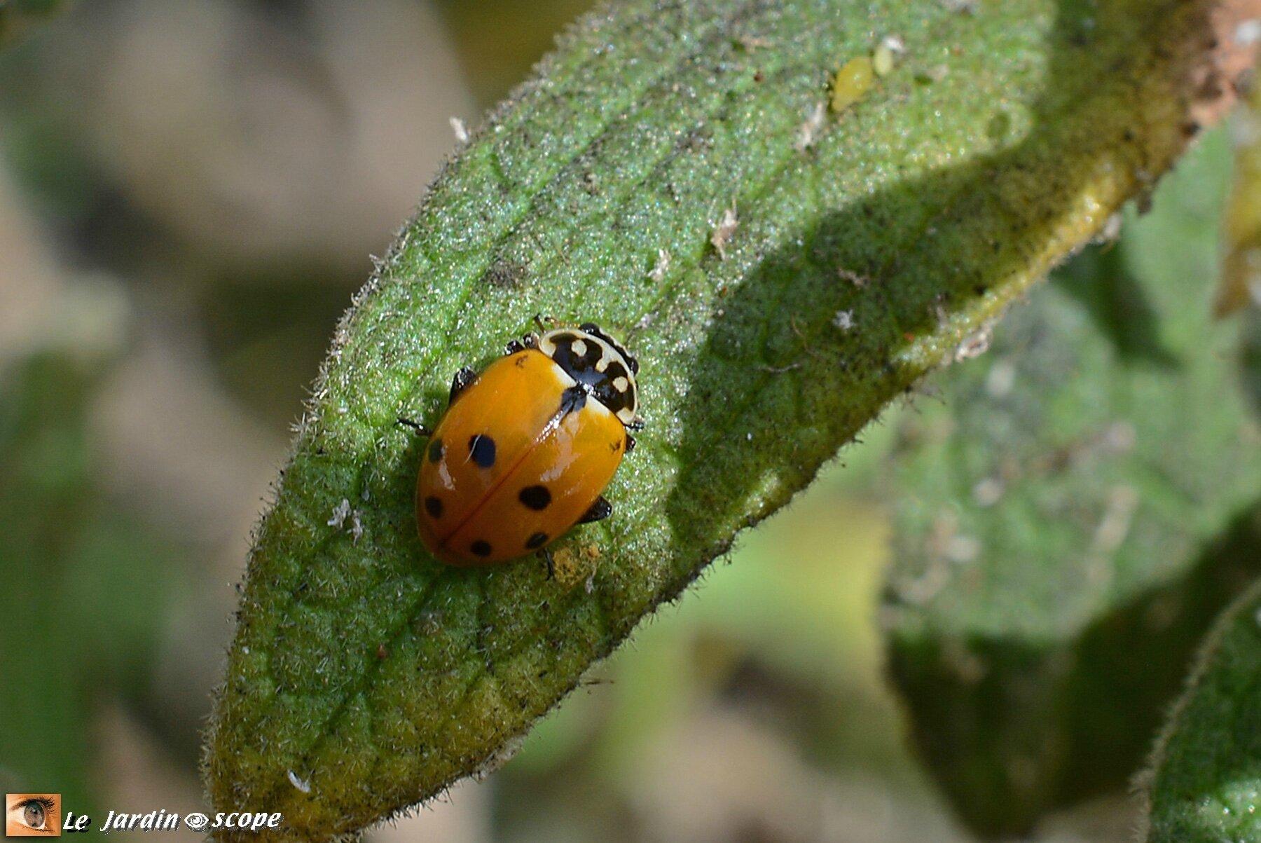 Coccinelle des friches • Hippodamia variegata • famille des Coccinellidae