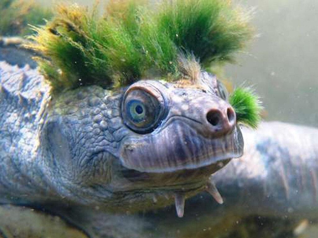 La tortue punk australienne pourrait disparaître