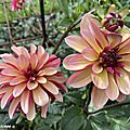 Dahlia-Julie-One