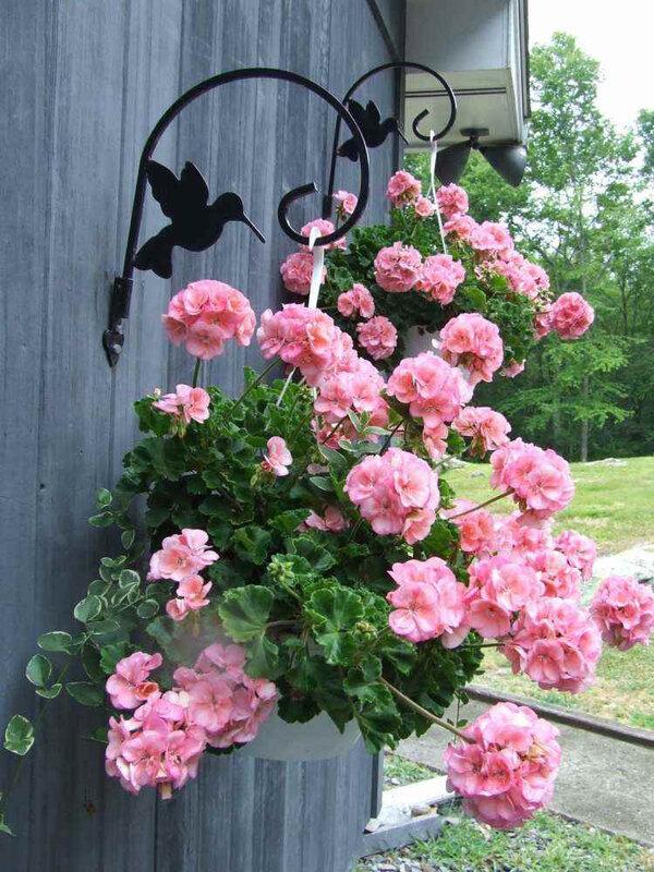 plantes-retombantes-pélargonium-fleurs-rose-pastel