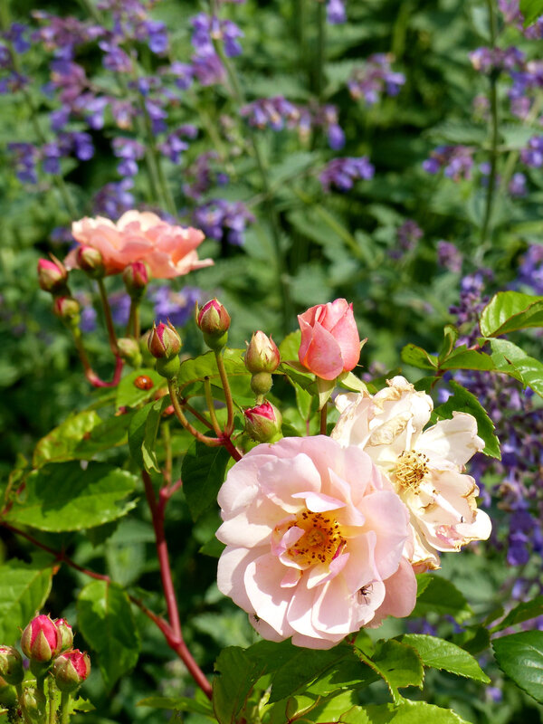 rosier cornelia