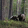 Ursus arctos_femelle_2 jeunes mâles_Finlande2011_XRu