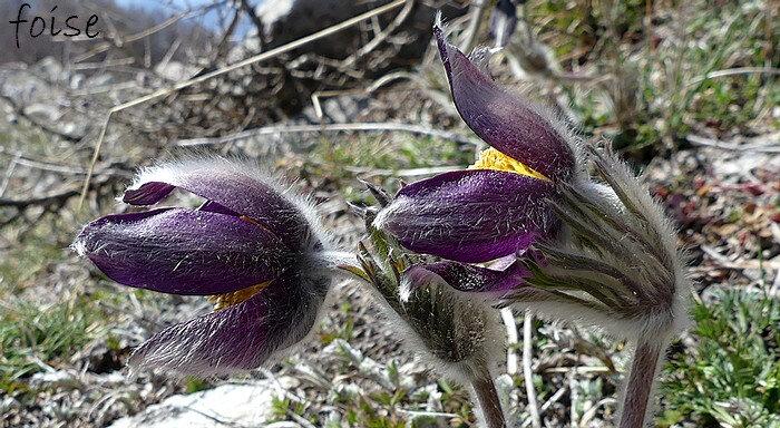 tépales d'un violet très sombre presque noir velus
