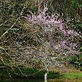 Prunus 0503162