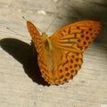 Petits papillons
