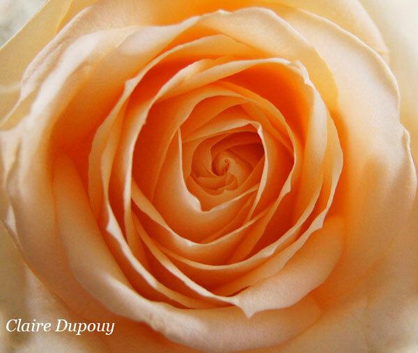 Je vous offre ma roseb