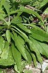 feuilles basales rétrécies en pétiole