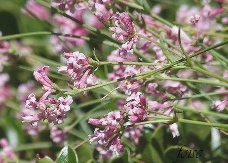 fleurs en petits fascicules
