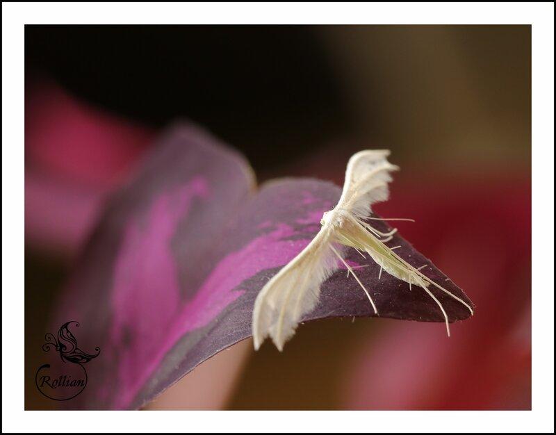 le Pterophore blanc3