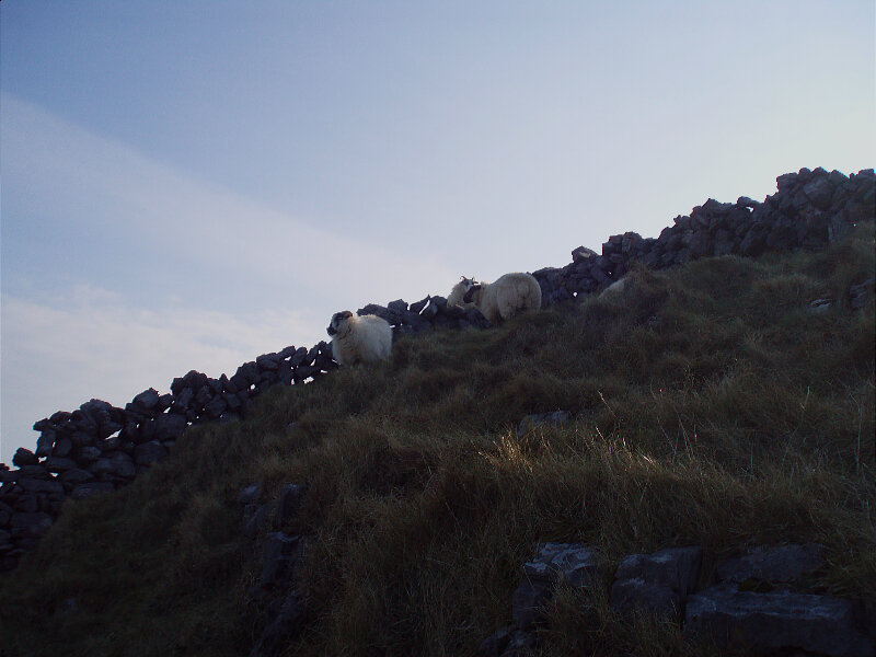 Moutons - Sheeps