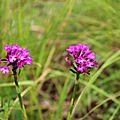 Sortie Orchidées 3 juin 2017