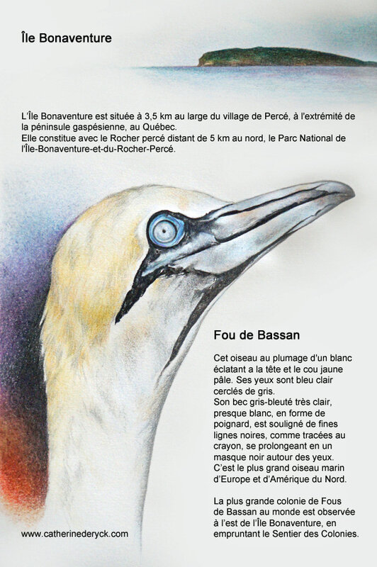 DeRyck_Canada1601-Bonaventure-Fou_de_BassanWEB