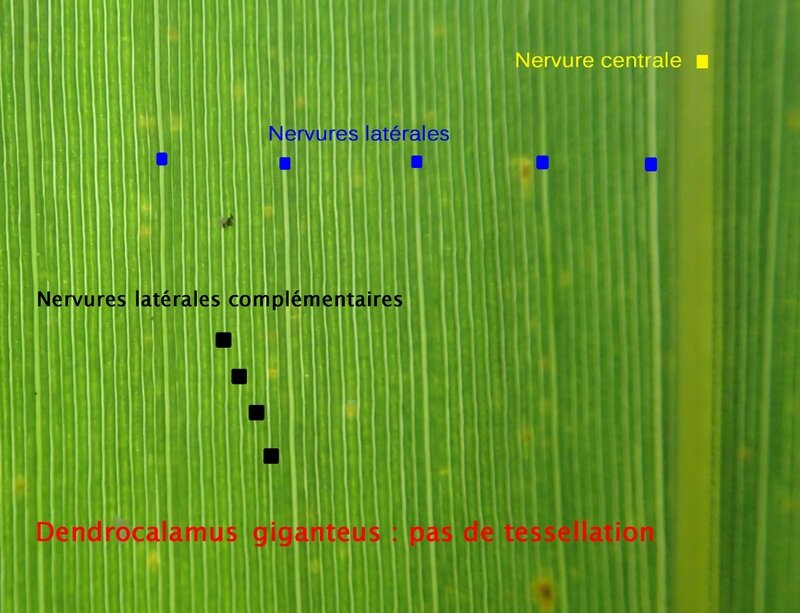 photo 35- Absence de tessellations sur feuilles de D giganteus
