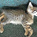 Du cannabis, du liquide de refroidissement et des plombs retrouvés dans le corps des chats empoisonné (aude) juin 2017