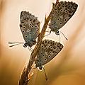 papillon mont césar36