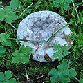 Russula albonigra (2)