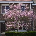 Le magnolia en entier