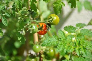 Tomates de différentes couleurs