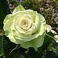 Mini-rosier blanc/vert