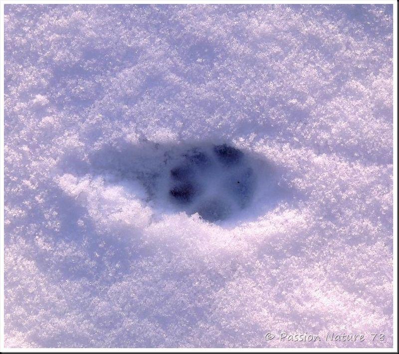 Traces d'animaux dans la neige (4)