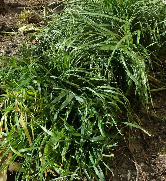JANV-23janv-herbes graminées)