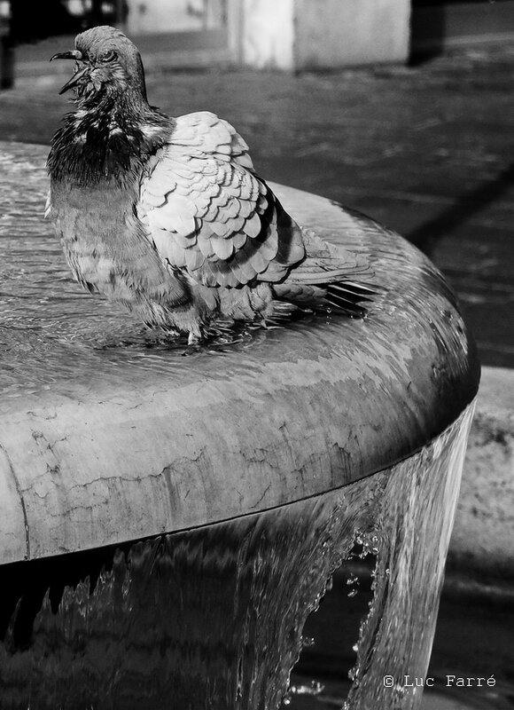pigeon 01-3a 1