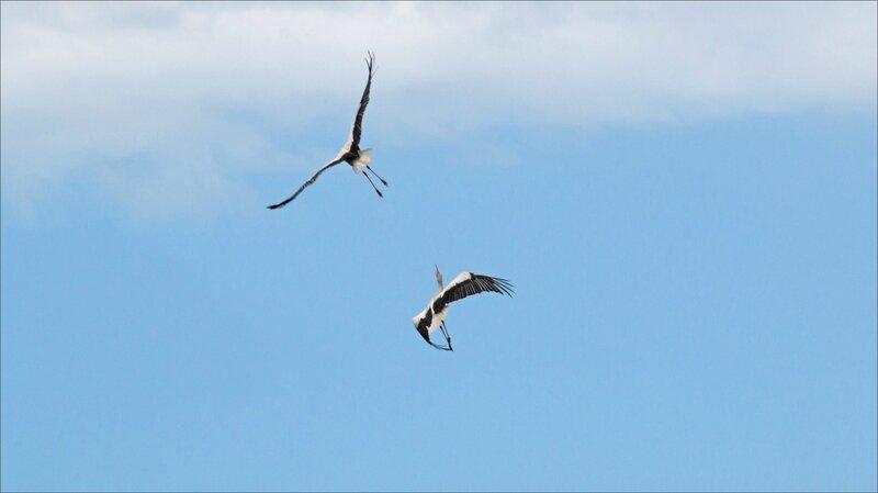 MS oiseau cigognes bagarre 140617