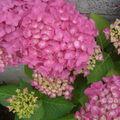 les fleurs des hortensias roses sont énormes !!!