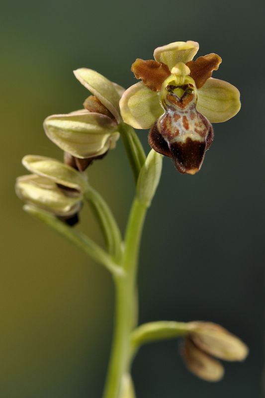 _DSC0032_Ophrys_aveyronensis_x_Ophrys_sulcata_2