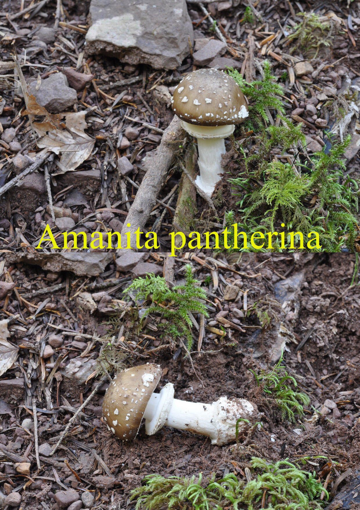 Amanita pantherina