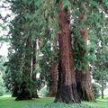 Séquoias géants • Sequoiadendron giganteum