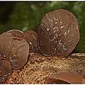 Oreille de judas : auricularia auricula-judae