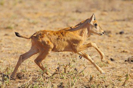 Jeune_oryx__r_serve_de_Buffalo_Springs__Kenya