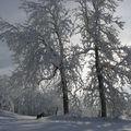 2008 12 17 Face au soleil, arbres enneigés