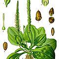 Le plantain