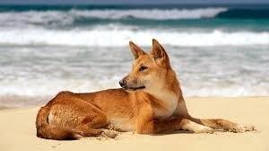 """Résultat de recherche d'images pour """"dingo"""""""